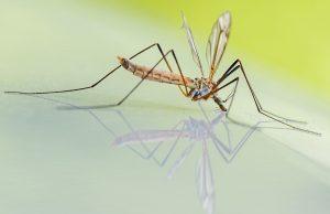 zaprašivanje larvi komaraca