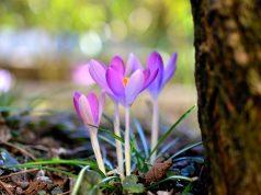 Cvet šafrana