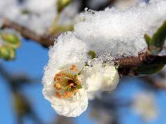 Cvet šljive sa snegom