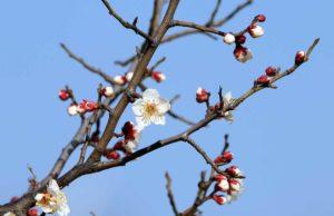Cvetovi šljive