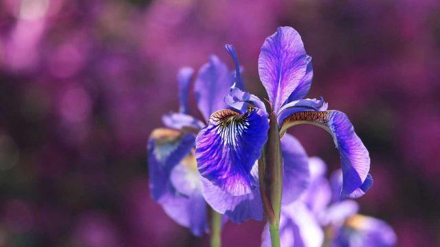 Iris - Perunika