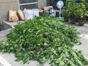 Marihuana u Zaječaru