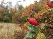 Jesenje boje, šipak