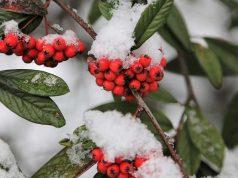 Crvene bobice, sneg, zima