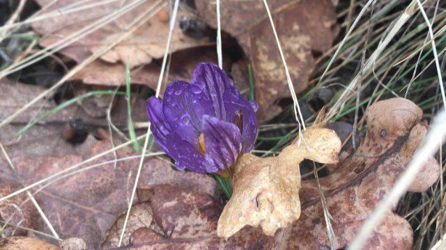 KAĆUN - Prvi vesnik proleća