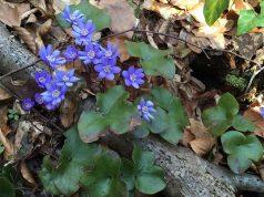 Plavi cvetovi u šumi