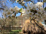Drvo u cvetovima, proleće, selo Vrmdža